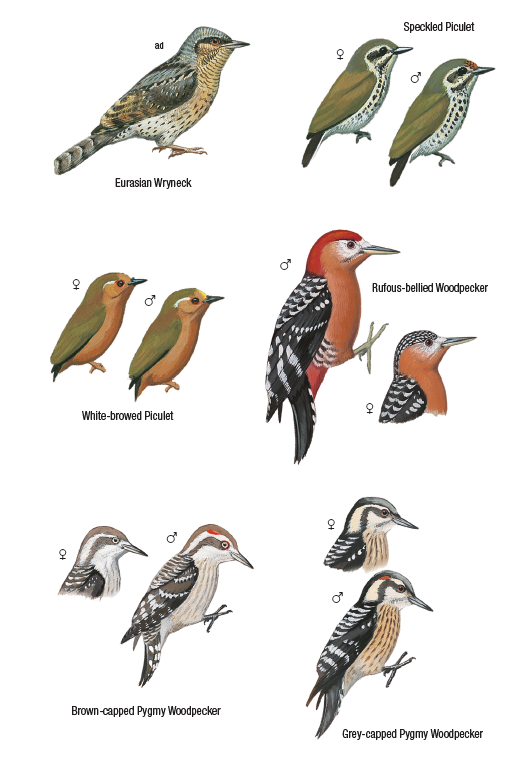 Corrected plate 63 of Birds of Nepal 2016